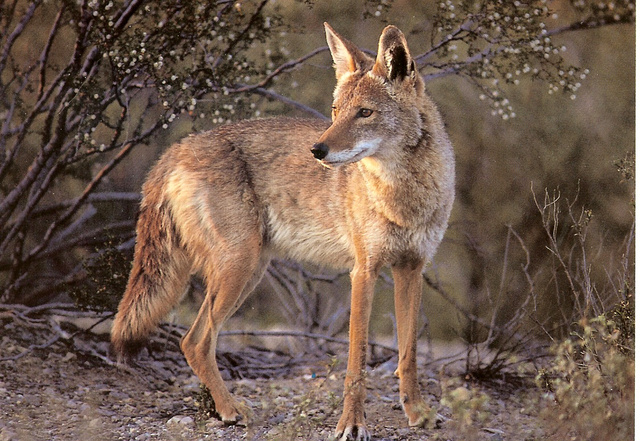 The San Pedro Martir coyote, local to Southern California