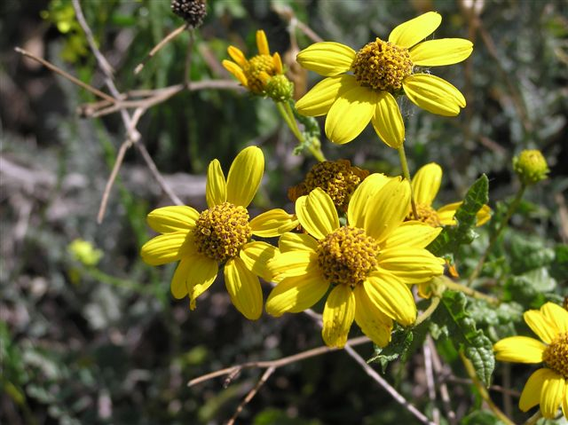 The San Diego Sunflower: a native that blooms in sage scrub of these canyons.